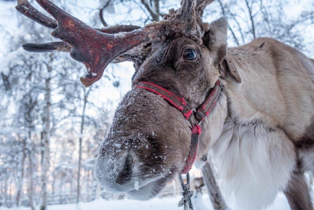 reindeer-in-the-snow